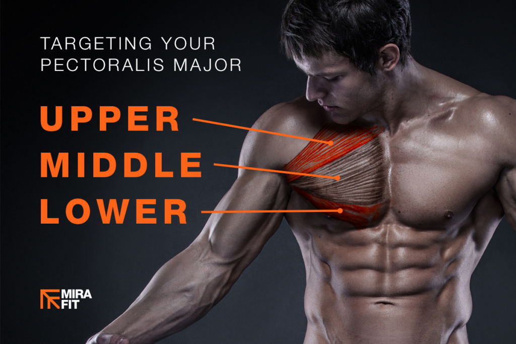 upper middle and lower chest highlighted on pectoralis major